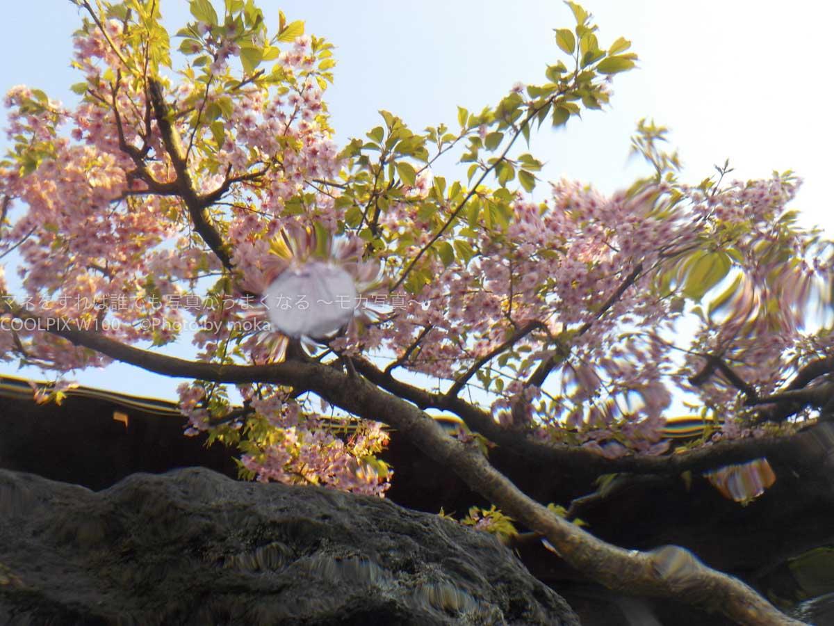 [6]春目前、「浦安万華郷」で花見風呂を楽しむ