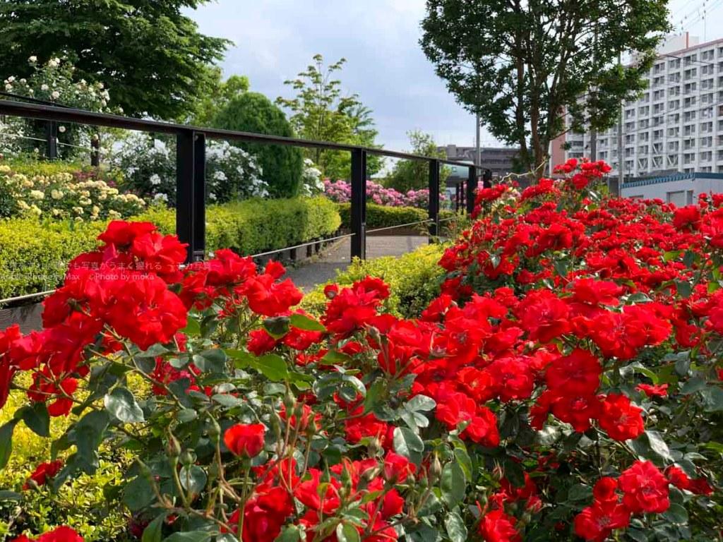 [6]足立区の公園に咲いた満開のバラの花