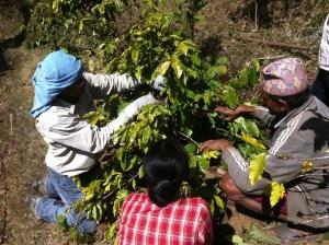 Himalayalar Kahvesi Toplayan İşçiler