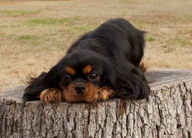 Black and Tan King Charles Spaniel Puppies for Sale