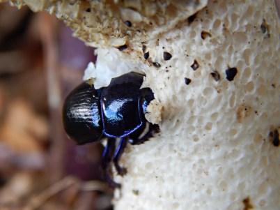 bosmestkever-geotrupes-stercorosus