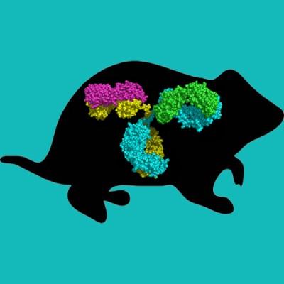 Armenian Hamster IgG, Protein G Purified