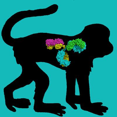 Cyno Monkey IgG, Protein A Purified