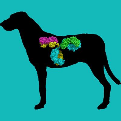 Sheep anti dog uPA IgG fraction, biotin labeled