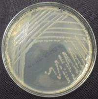 Bacteria streaked on TSA