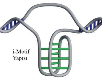 İnsan Hücrelerinin İçindeki Yeni DNA Yapısı