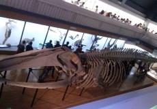 Музей Природоведения - Скелет Синего Кита
