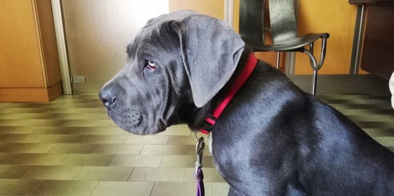 spartaco-cane-corso-3-mesi