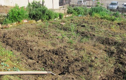 The After Picture: weeds removed from 1/2 of garden. No tilling started yet
