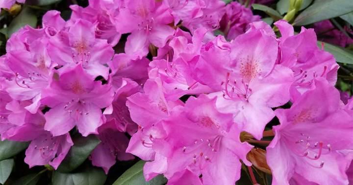Rhodedendron flowers