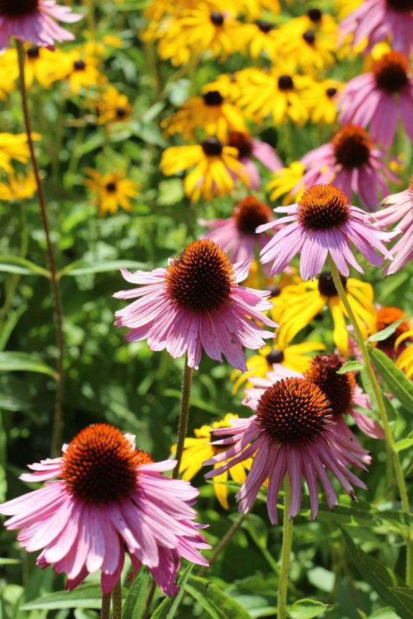 Cone flowers and black eyed Susans!