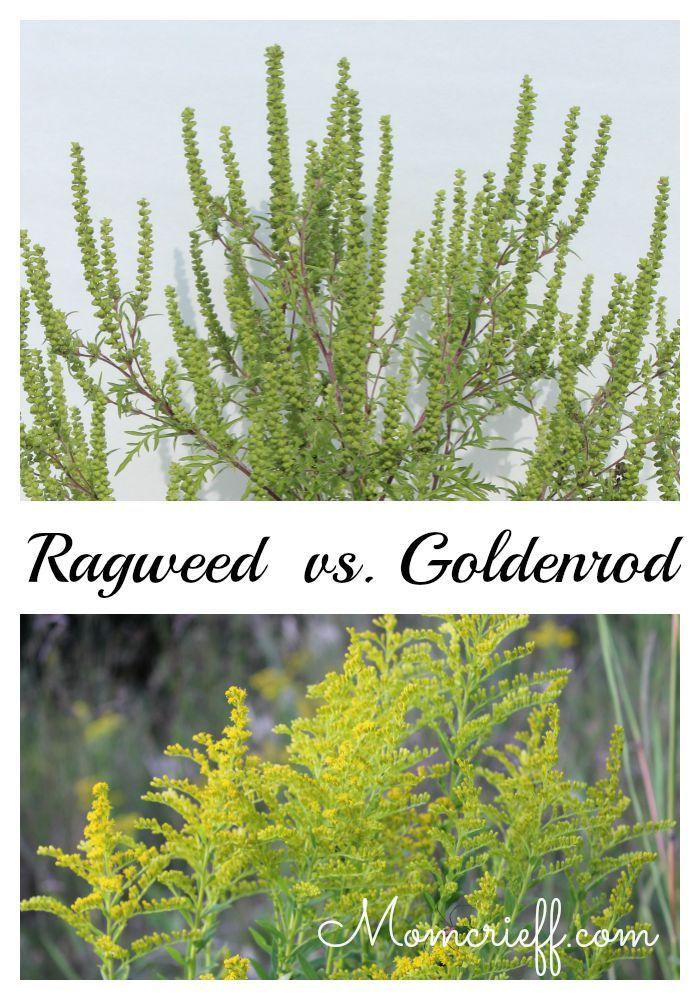 Ragweed – Identifying Ragweed vs. Goldenrod
