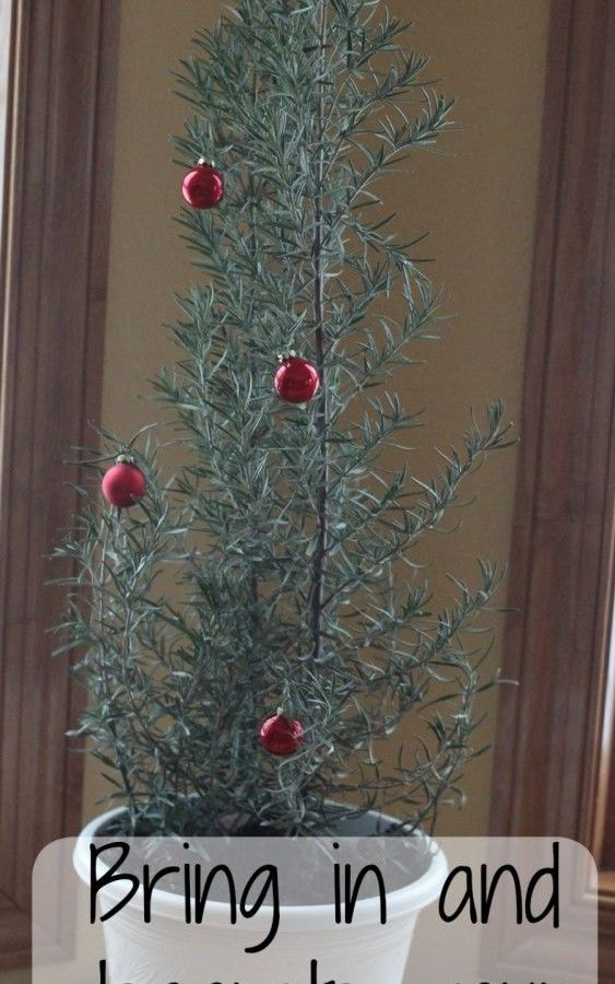 My Christmas Rosemary Tree – from my garden.