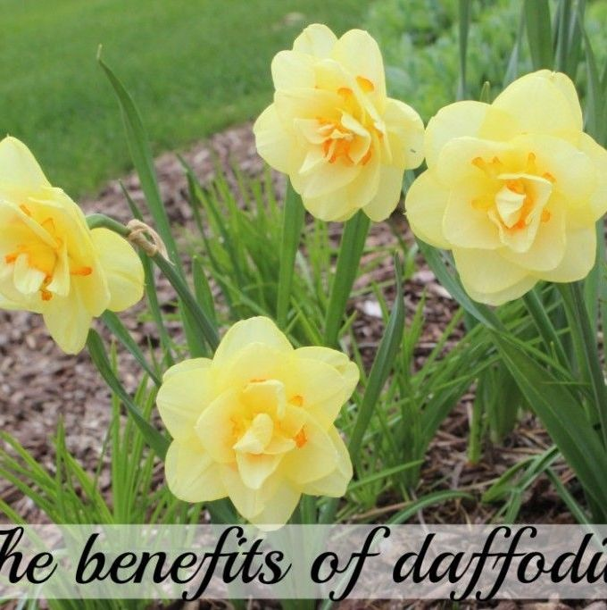 The benefits of the Daffodil!