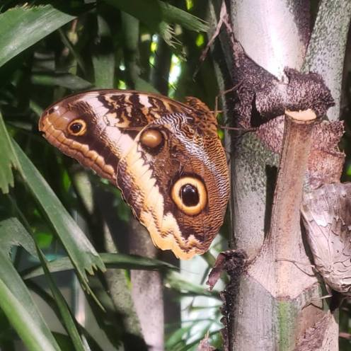 amnh butterfly