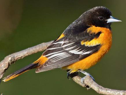 bird oriole