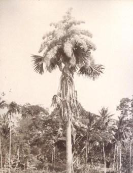 Talipot Palm in Flower