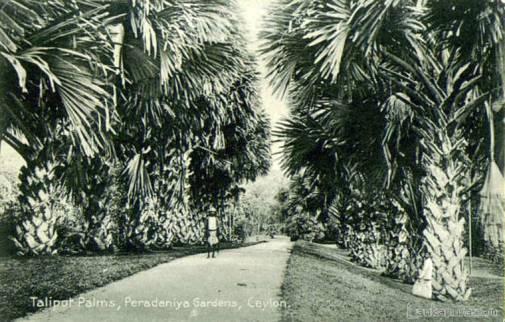 Talipot Palms, Peradeniya Gardens, Kandy