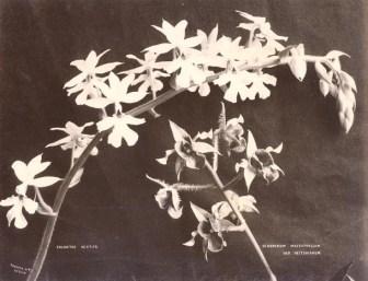 Orchid Types (Dendrobium macrophyllum and Calanthe vestita)