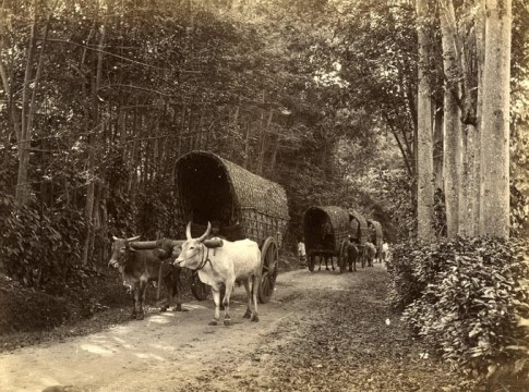Bullock Cart among Woods
