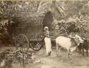 Bullock Cart in a Garden Path