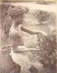 Male Tea Plucker