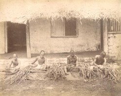 Removing the bark from the cinnamon cane