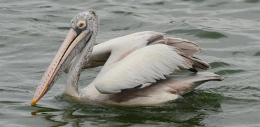 The spot-billed pelican or grey pelican (Pelecanus philippensis)
