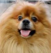 benji brenoviski cão