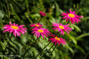 Pink Painted Daisies