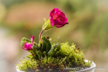 Primrose and moss in cup-4094