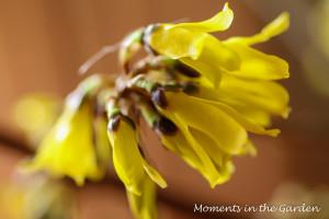 Forsythia close up (good)-3698