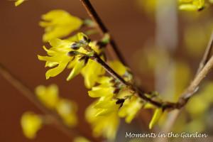 Forsythia in bloom2-3693