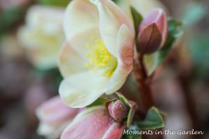 Morning light on hellebore blooms-3640