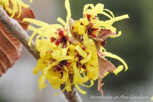Yellow Witch Hazel-3542