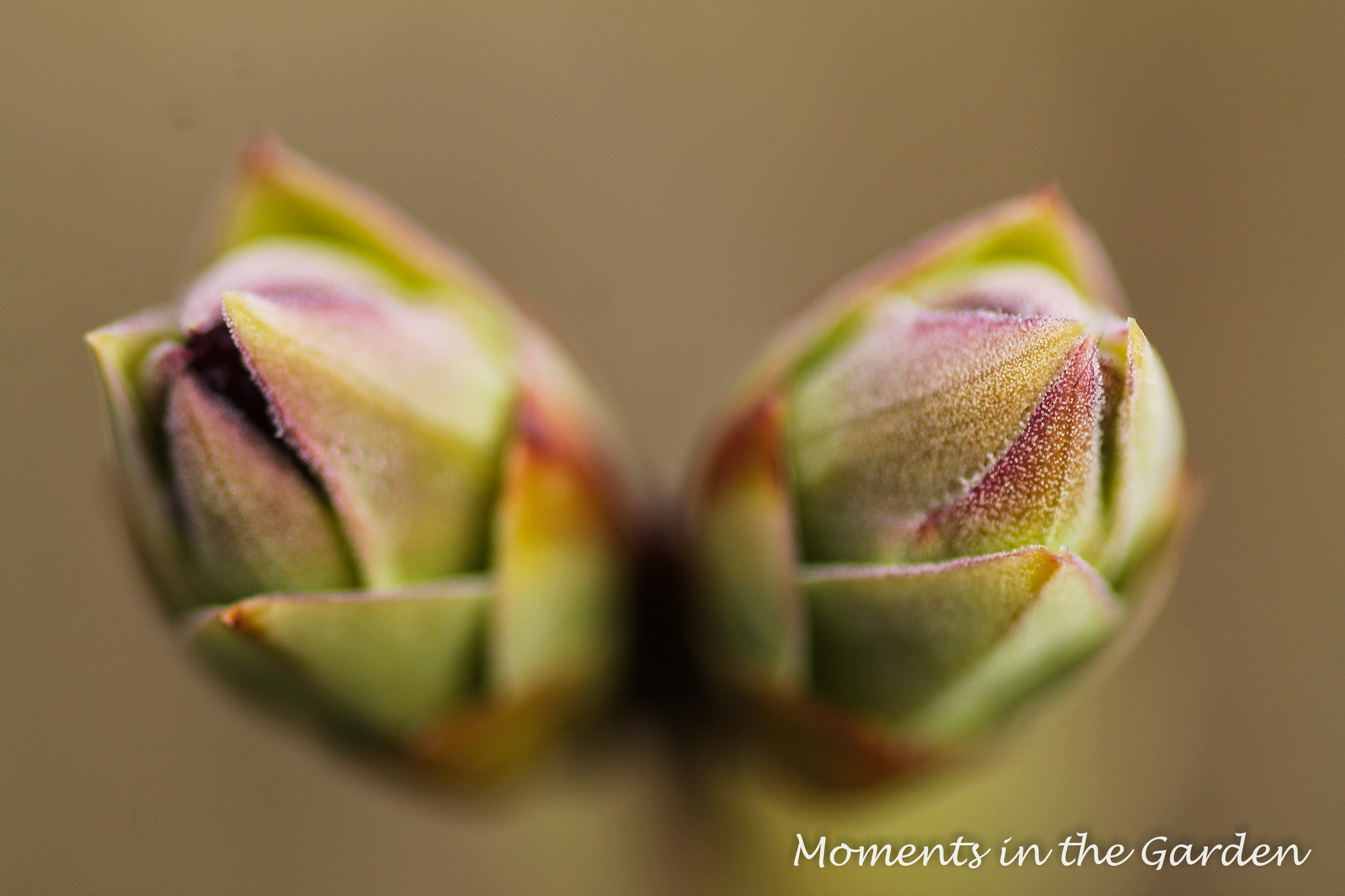 Buds Appearing - MOMENTS IN THE GARDEN PHOTOGRAPHY