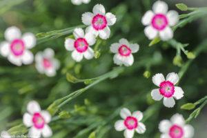 Dianthus deltoides-5698