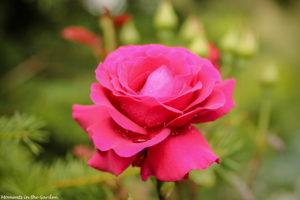 Crimson rose-7662