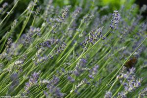 Lavender blooms-7713