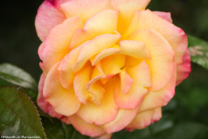 Yellow and pink rose front bed-6480