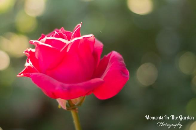 Sunlight on crimson rose-5749