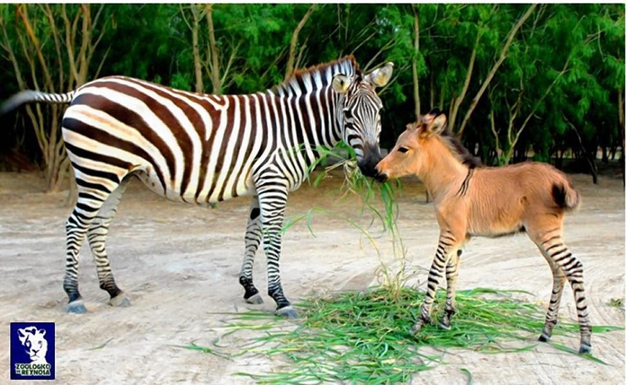 an amazing zebra donkey or zonkey baby naturally born at