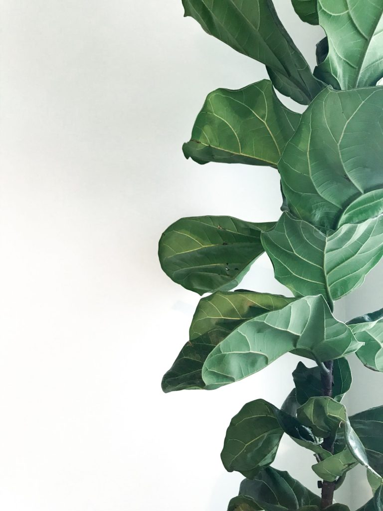 fiddle leaf fig tree brown spots