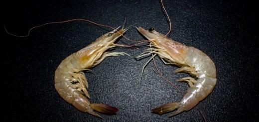 蝦子新鮮度如何判斷分辨? 是否活跳跳就是最好?