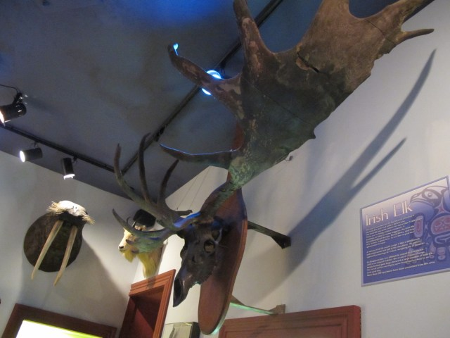 We were impressed with the size of the rack on this Irish Elk.