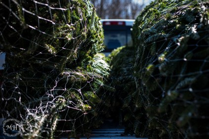ChristmasTrees-22