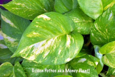 Delhi's Air Pollution has given a new reach for plants. Since Indoor Air Pollution can be 5X more than outdoors, here are some Air Purifying Plants for home. #airpurifyingplants #indoorplants #airpollution #plants #Delhi #DelhiAir #goldenpothos #MoneyPlant #Lily #Gogreen