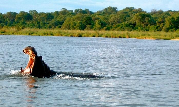 Okavango Delta Hippo