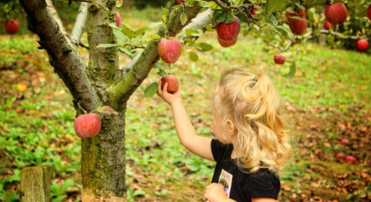 Apple Picking near Atlanta, GA