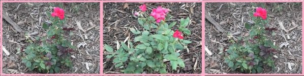 Great Garden Plant Roses